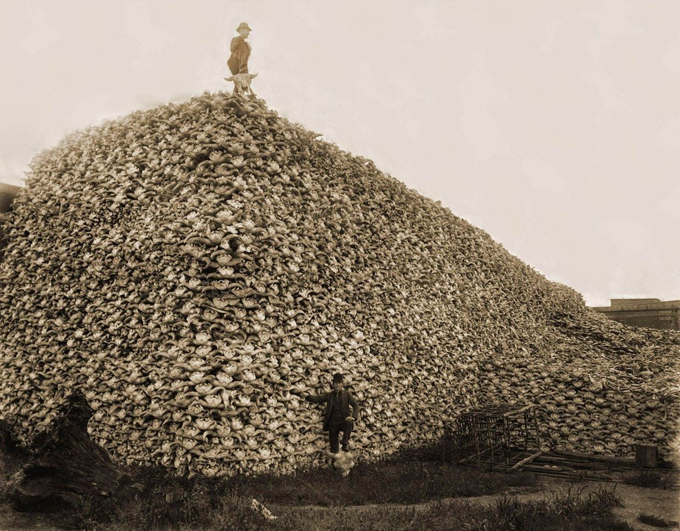 1870 - A poacher stands atop a pile of about 100,000 bison skulls. Bisons were hunted to near extinction, prized for their skins and their status as a symbol of the wide-open West.
