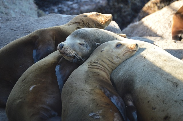 sea-lions1